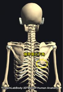 肩甲骨下角