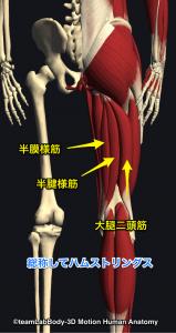 ハムストリングス(半腱様筋・半膜様筋・大腿二頭筋)