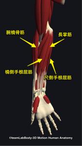 橈側手根屈筋・腕橈骨筋・長掌筋・尺側手根屈筋