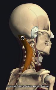 頭半棘筋・トリガーポイント