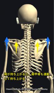 肩甲骨の挙上・肩の挙上