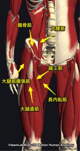 股関節屈筋・内転筋群