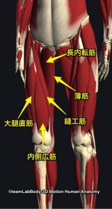 大腿直筋・長短内転筋・内側広筋・縫工筋・薄筋